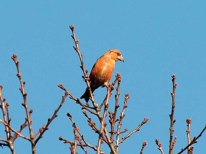 Kruisbek, Common Crossbill