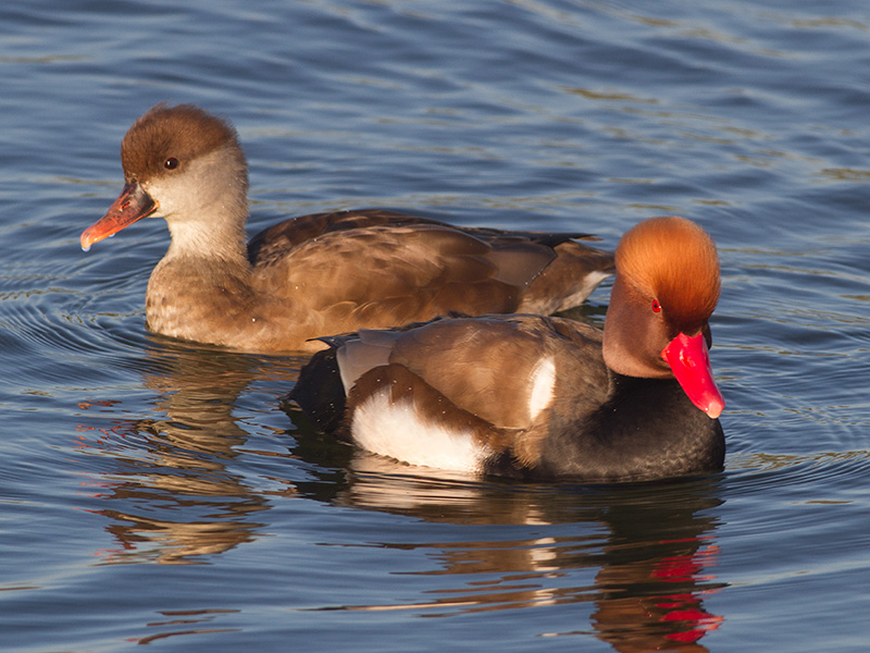 Krooneend, Red-crested Pochard