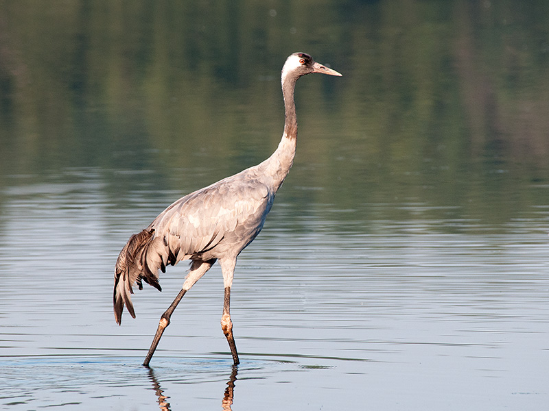 Kraanvogel, Common Crane
