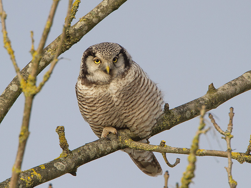Sperweruil, Northern Hawk-Owl