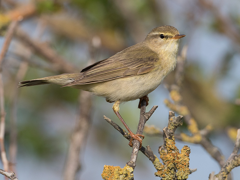Fitis, Willow Warbler