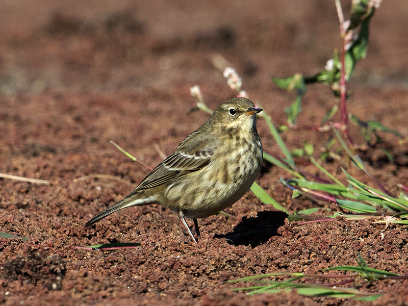 Oeverpieper, Rock Pipit