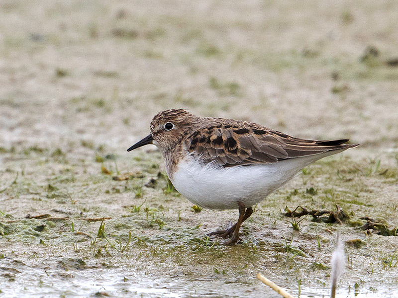 Temmincks Strandloper, Temminck's Stint