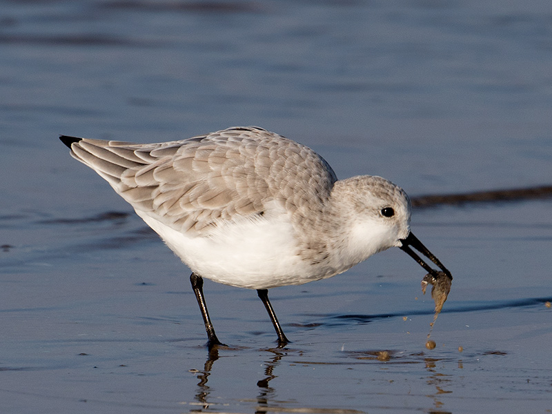 Drieteenstrandloper, Sanderling
