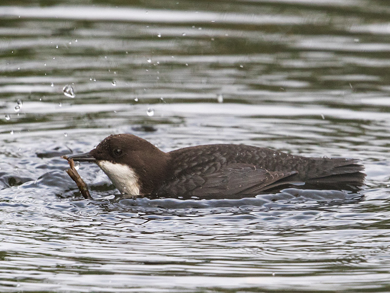 Waterspreeuw, White-throated Dipper