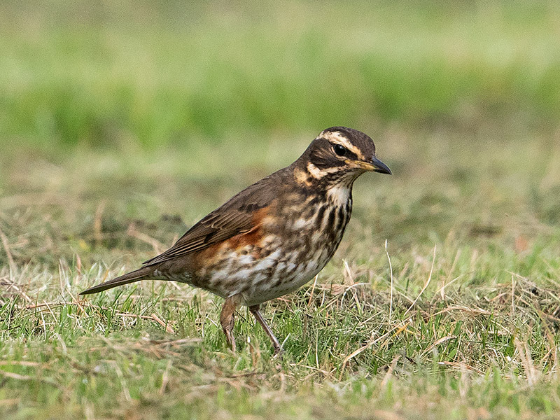 Koperwiek, Redwing