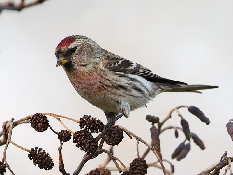 Grote Barmsijs, Mealy Redpoll
