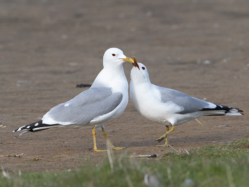 Stormmeeuw, Common Gull