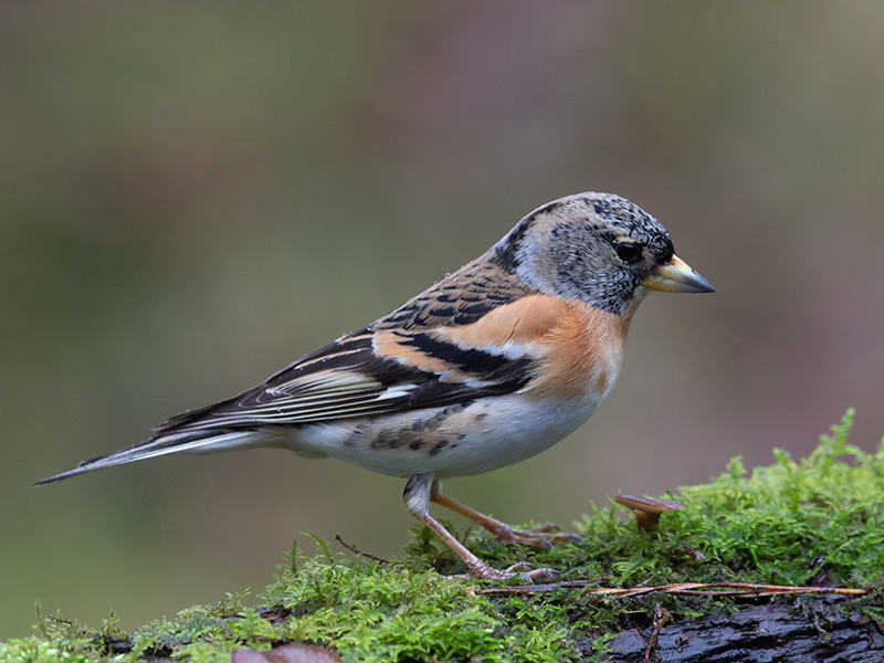 Keep, Brambling