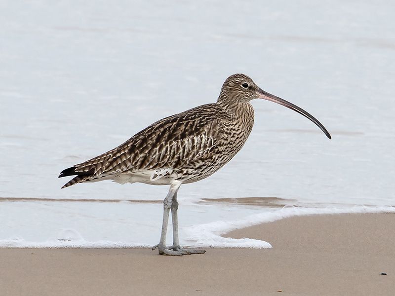 Wulp, Curlew