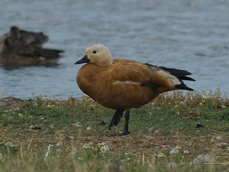Casarca, Ruddy Shelduck