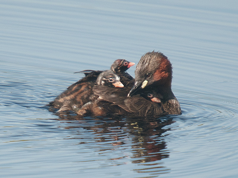 Dodaars, Little Grebe