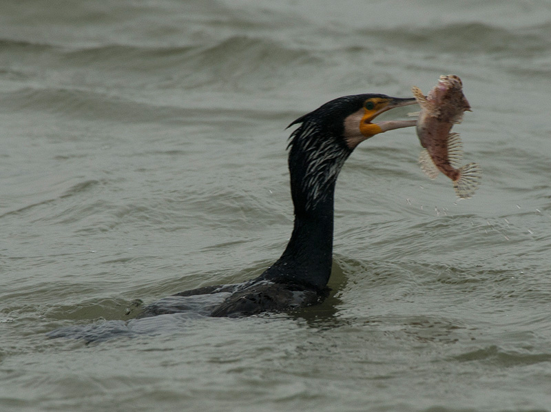 Aalscholver, Great Cormorant
