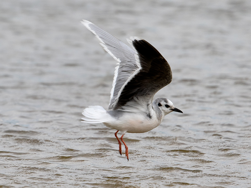 Dwergmeeuw, Little Gull