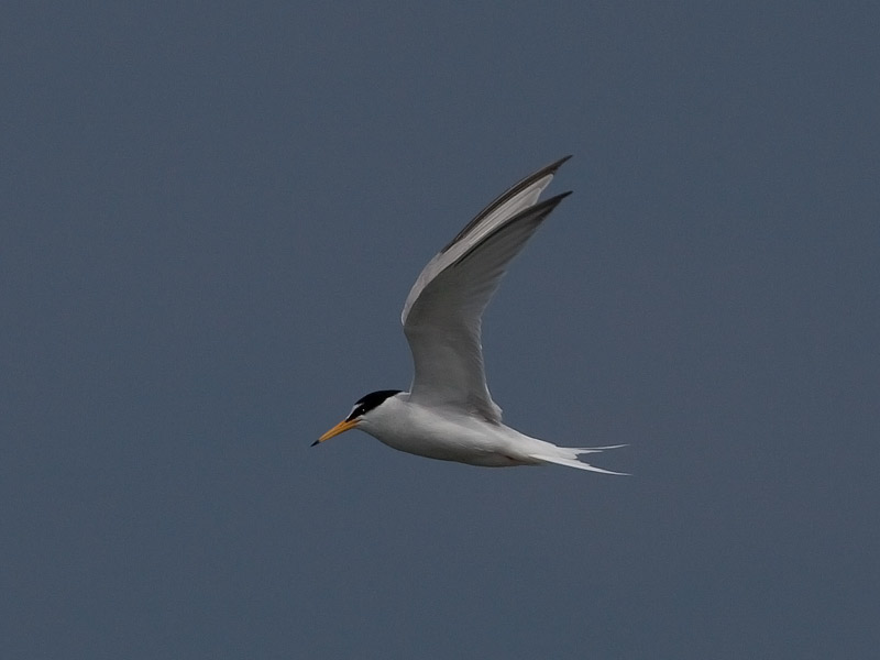 Dwergstern, Little Tern