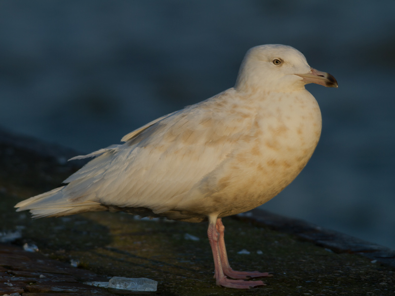 Grote Burgemeester, Glaucous Gull
