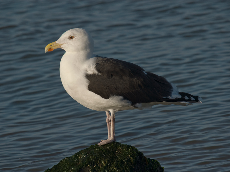 Grote Mantelmeeuw, Great Black-backed Gull