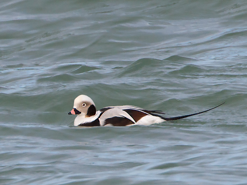 IJseend, Long-tailed Duck
