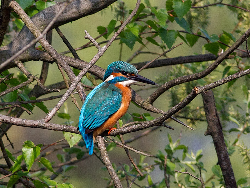 IJsvogel, Kingfisher