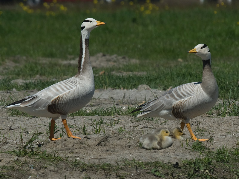 Indische gans, Bar-headed Goose