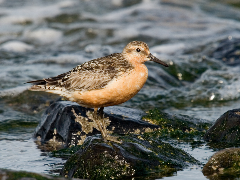 Kanoet, Red Knot