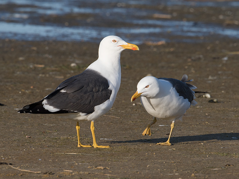Kleine Mantelmeeuw, Lesser Black-backed Gull