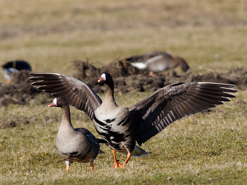 Kolgans, Greater White-fronted Goose