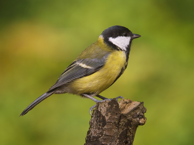 Koolmees, Great tit