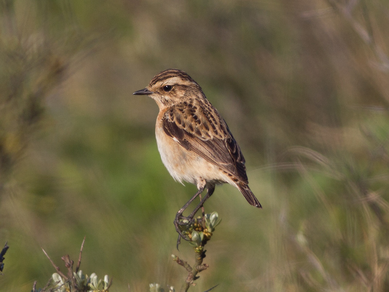 Paapje, Whinchat