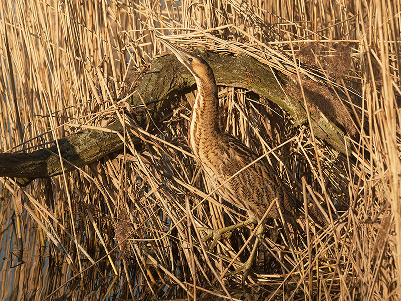 Roerdomp, Great Bittern