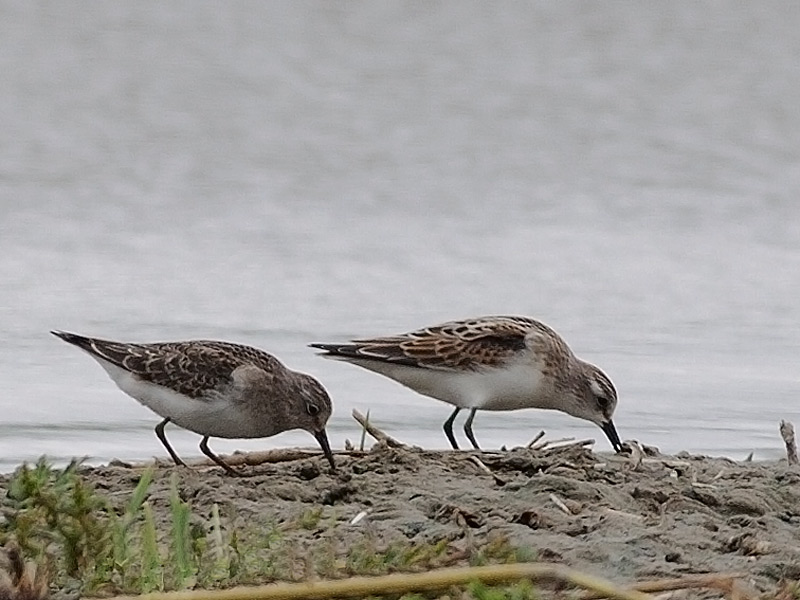 Temmincks- en Kleine Strandloper, Temminck's- and Little Stint