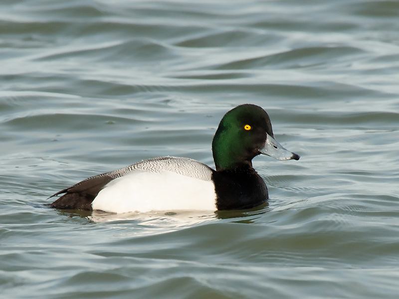Topper, Scaup