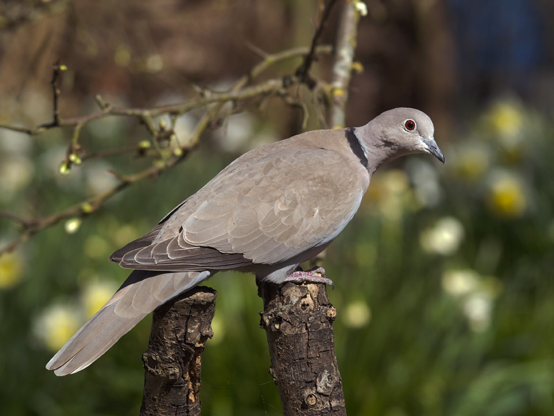 Turkse Tortel, Collared Dove
