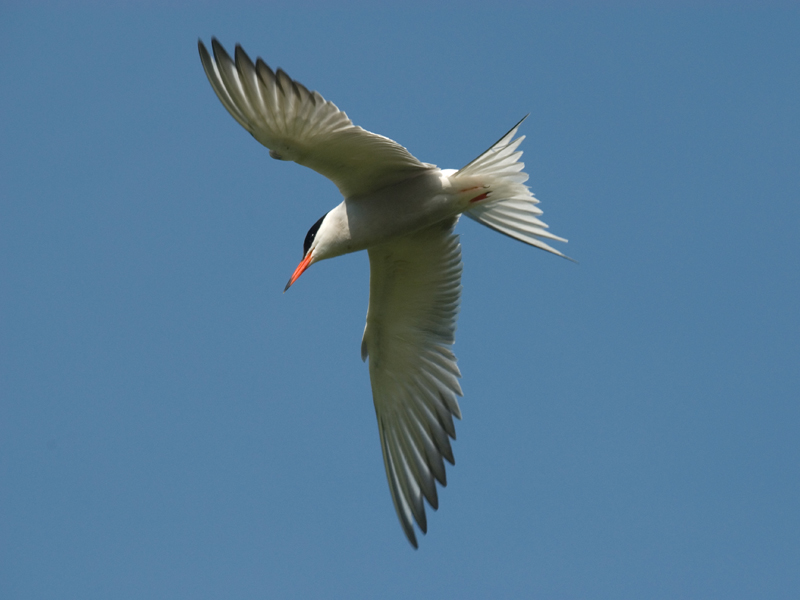 Visdief, Common Tern