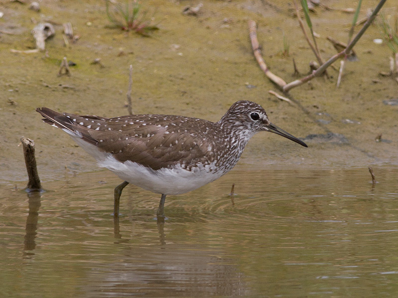 Witgat, Green Sandpiper