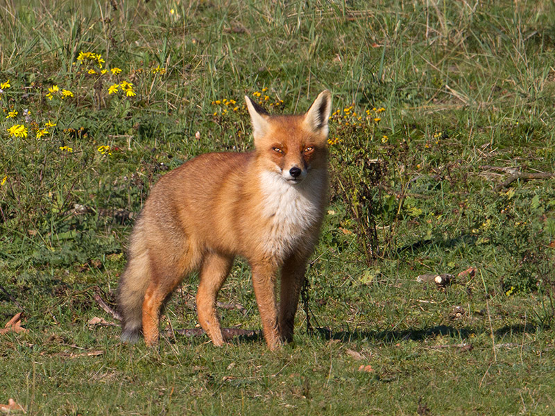Vos, Red Fox