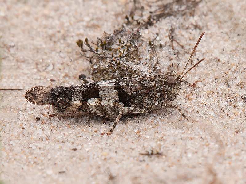 Blauwvleugelsprinkhaan, Blue Winged Grasshopper