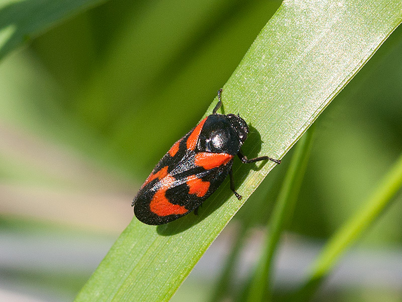 Bloedcicade, Black-and-red froghopper