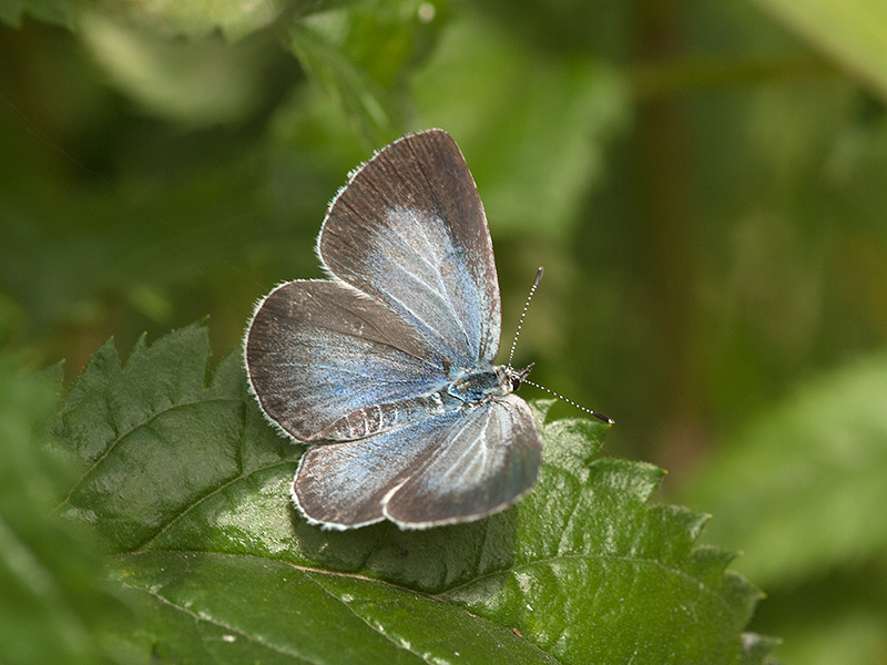 Boomblauwtje, Holly Blue