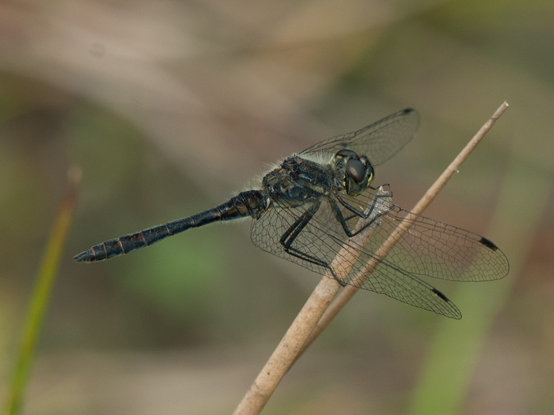Zwarte heidelibel, Black darter