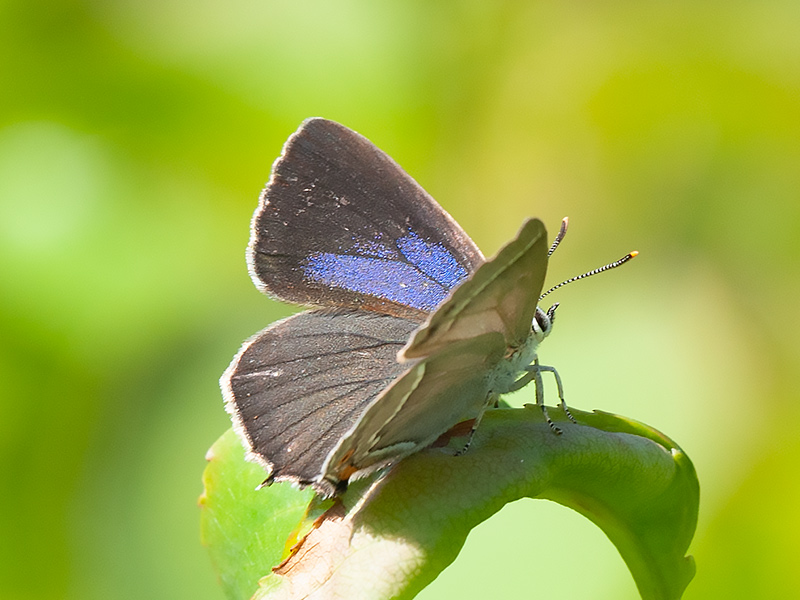 Eikenpage, Purple Hairstreak