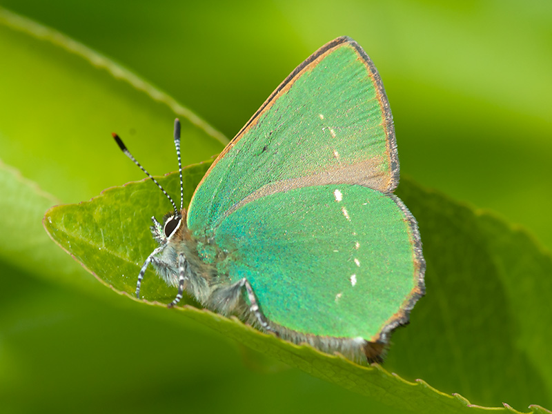 Groentje, Green Hairstreak