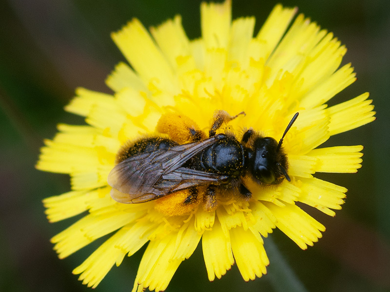 Grote roetbij, Large Shaggy Bee