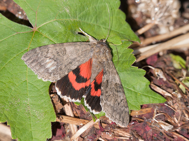 Rood weeskind, Red Underwing