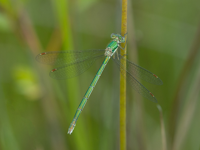 Tengere pantserjuffer, Small Spreadwing