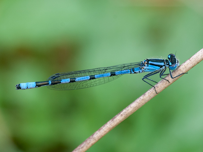 Watersnuffel, Common Bluet
